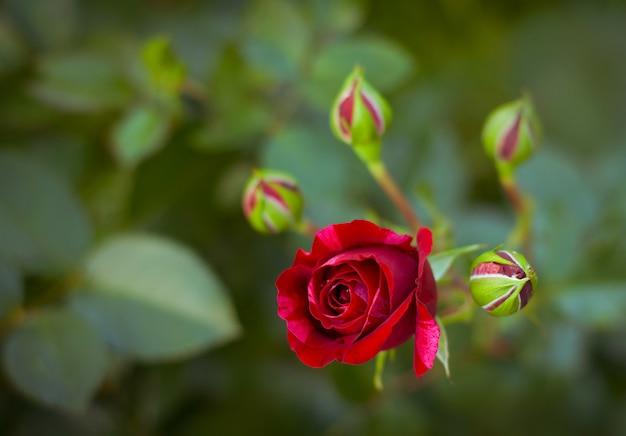 Heldere rode roze bloemen in de tuin