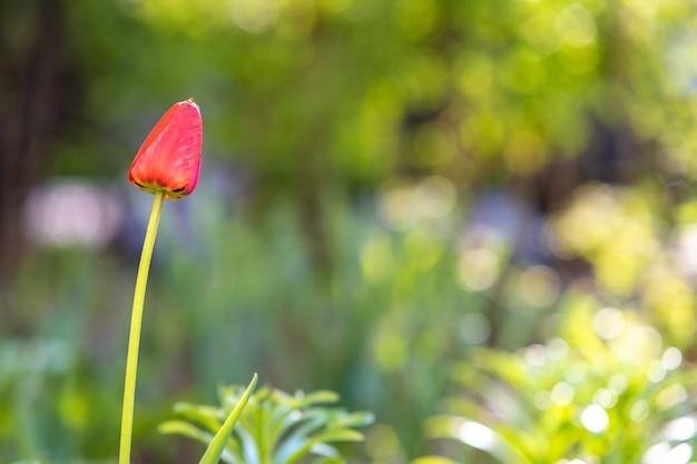 Heldere rode tulpenbloem die in de lentetuin groeit.