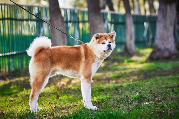 Heldere roodharige mooie rashond akita inu voor een wandeling in het park.