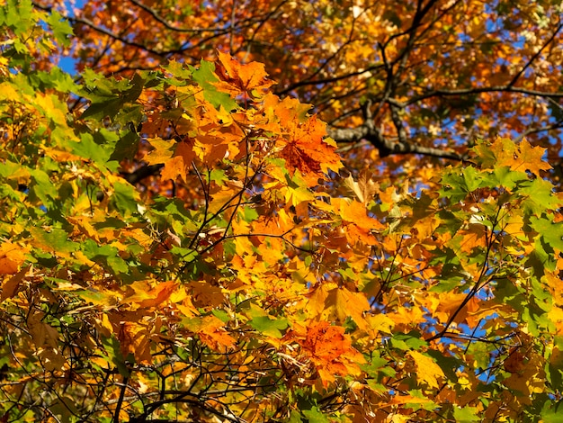 Heldere tak van de herfstesdoorn op een zonnige dag.