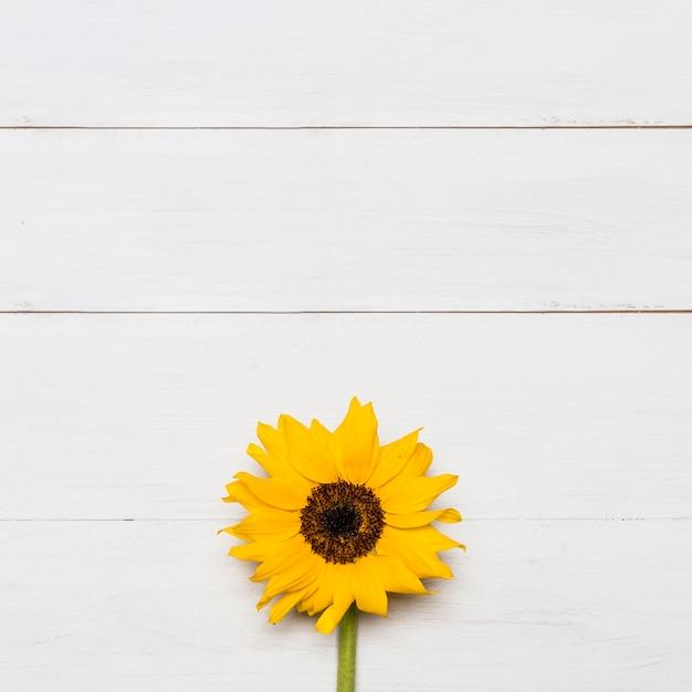 Heldere zonnebloem met grote gele weelderige kop