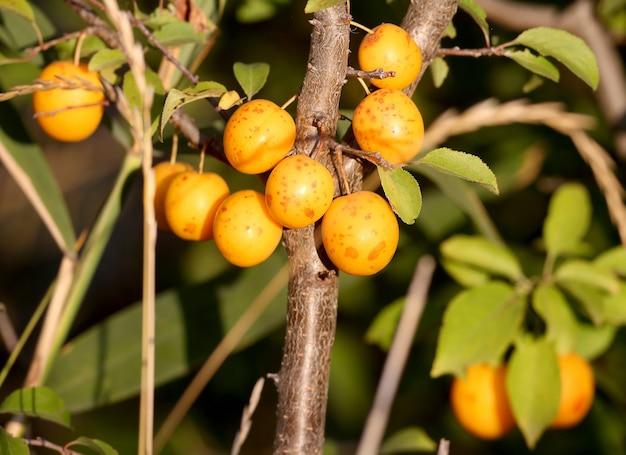 Heldergele kersenpruim (prunus cerasifera) fruit geschoten op een boomclose-up in zacht ochtendlicht