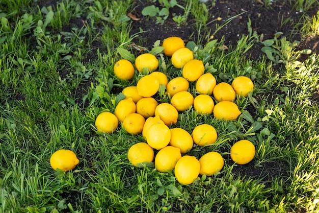 Heldergele rijpe sappige citroenen net uit de boom gevallen en liggen op groen gras op zonnige warme zomer