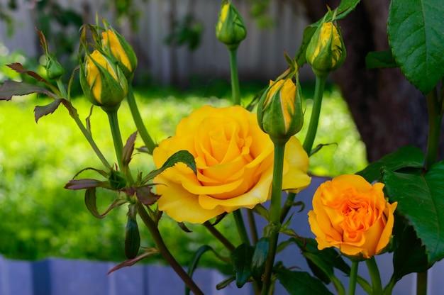 Heldergele rozen en ongeopende knoppen op de natuur