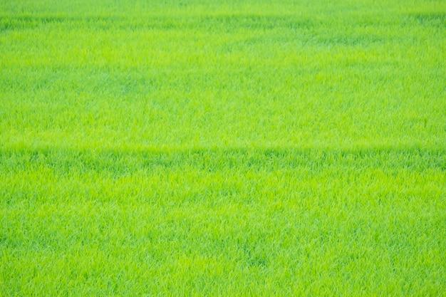 Heldergroen gras. de zaailingen van rijst zijn lichtgroen.