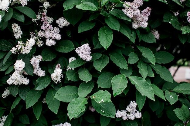 Heldergroene bladeren van lila bovenaanzicht minimalistische achtergrond. floral achtergrond concept. de bloemblaadjes sluiten omhoog. bloemisterij hobby.