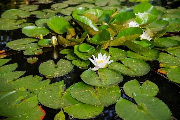 Heldergroene lelieblokken bedekken het oppervlak van een vijver. zomerrivier met witte lelies