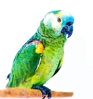 Heldergroene papegaaien die op de houten geïsoleerde stok zitten
