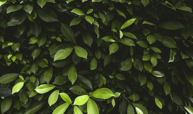 Heldergroene tropische bladeren in de tuin. tropische achtergrond
