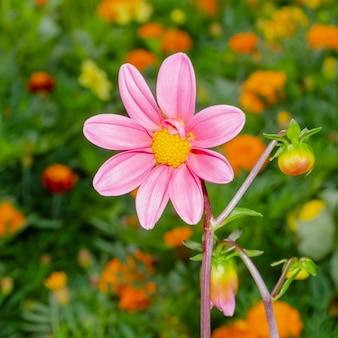 Helderroze dahlia-bloemen Premium Foto