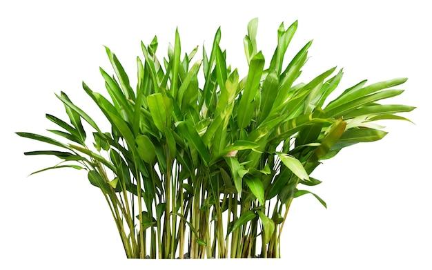 Heliconia plant bush geïsoleerd op wit met uitknippad.