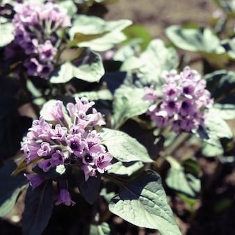 Heliotropium arborescens violette bloemen met groen blad