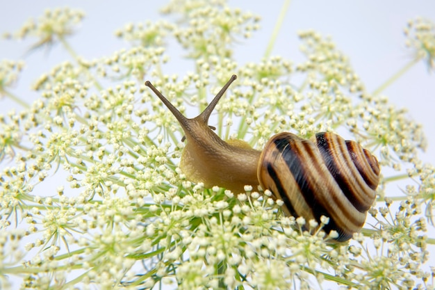 Helix pomatia. kleine slak die op een bloem kruipt. weekdieren en ongewervelden. delicatesse vlees en gastronomische gerechten.