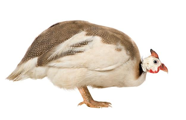Helmparelhoen - numida meleagris geïsoleerd