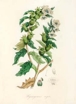 Henbane (hyoscyamus niger) illustratie van medical botany (1836)
