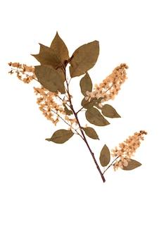 Herbarium droge tak en gewone vogelkers bloem geïsoleerd op een witte achtergrond