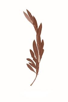 Herbarium droge tak van een olijfboom geïsoleerd op een witte achtergrond