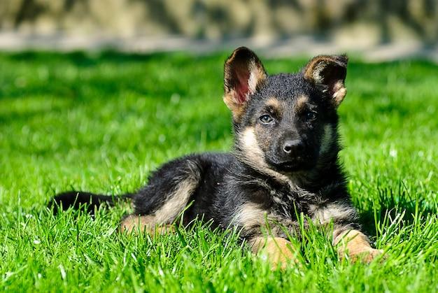Herder pup liggen op het groene gras
