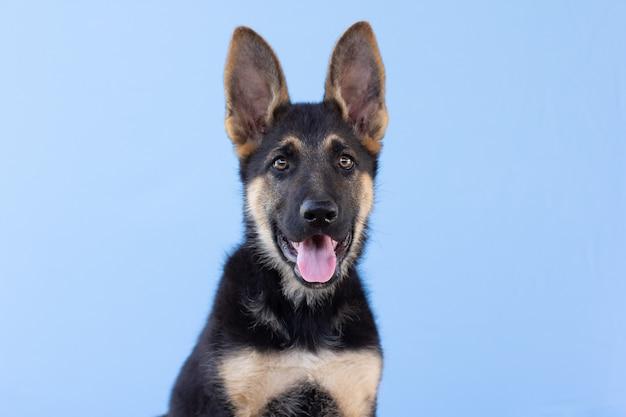 Herder puppy portret geïsoleerd op blauwe ondergrond