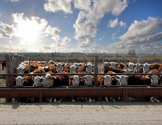 Hereford-runderen