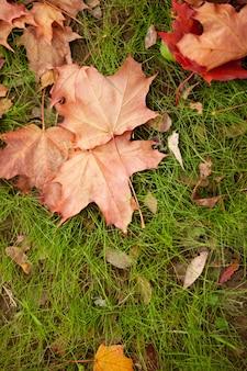 Herfst achtergrond. gevallen droge gele esdoornbladeren die op een groen gras liggen. bladafval. bovenaanzicht