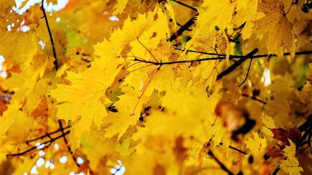 Herfst achtergrond met gouden herfst esdoorn bladeren bij zonnig weer sunny