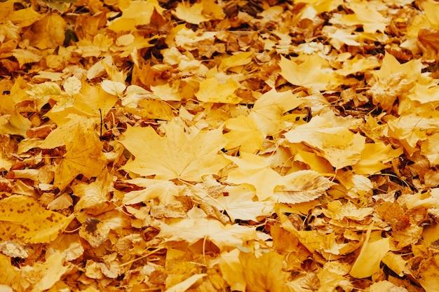 Herfst achtergrond met kleurrijke esdoorn bladeren tot op de grond. natuurlijk geel bladtapijt. gebladerte behang, esdoornblad