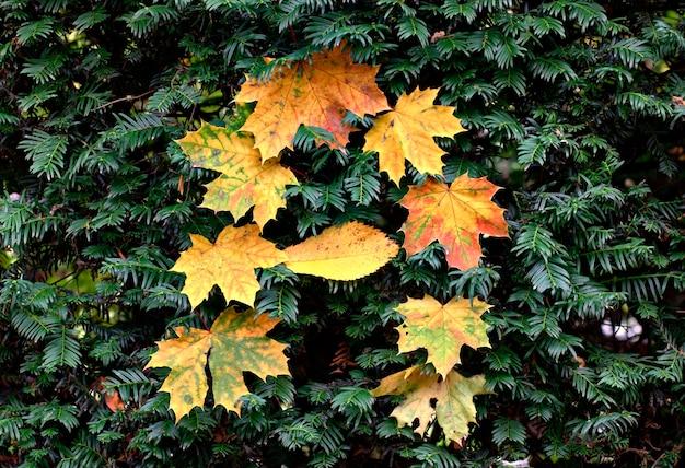 Herfst belettering met esdoorn bladeren op een groene naaldstruik.