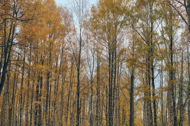 Herfst berk kronen steegje. prachtig bos met gevallen bladeren.