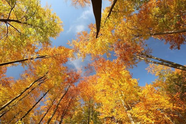 Herfst beukenbomen op een zonnige ochtend
