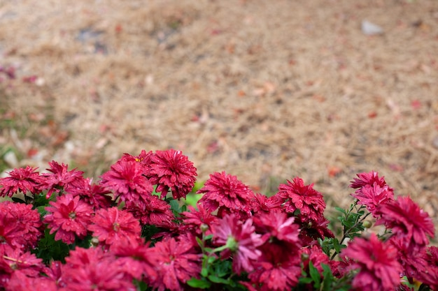 Herfst bloemen op seizoensgebonden achtergrond herfst achtergrond met kopie plaats voor tekst van bush chrysanthem...