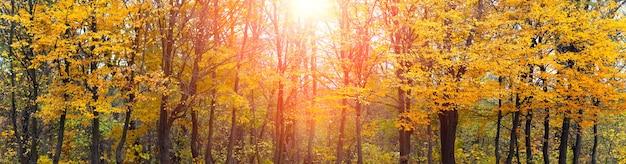 Herfst bos tijdens zonsondergang. breed panorama van herfstbos in fel zonlicht in warme herfsttinten