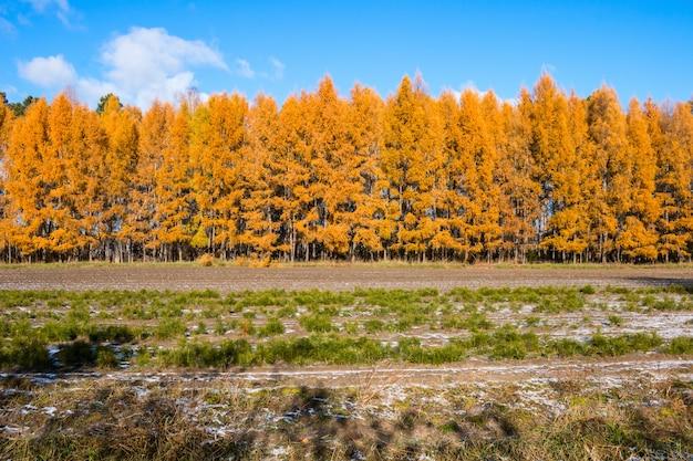 Herfst bos van lariksbomen