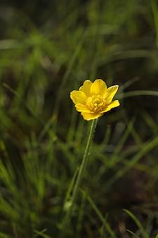 Herfst boterbloem, gouden knop, ranunculus bullatus