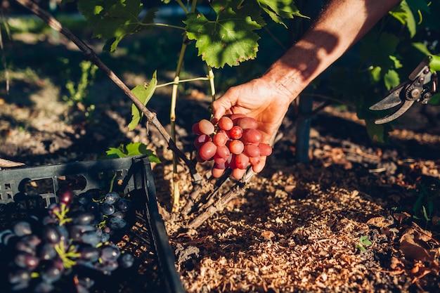 Herfst druiven harverst. landbouwer die gewas van druiven op landbouwbedrijf verzamelt. mens die rode tafeldruiven met pruner snijdt