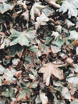 Herfst en herfstsamenstelling. gedroogde groene en beige esdoornbladeren