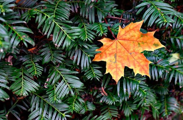 Herfst esdoornblad geschorst op een naaldstruik.