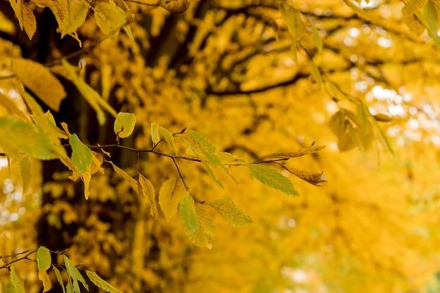 Herfst, herfst, bladeren achtergrond. een boomtak met herfstbladeren op een onscherpe achtergrond. landschap in de herfstseizoen.