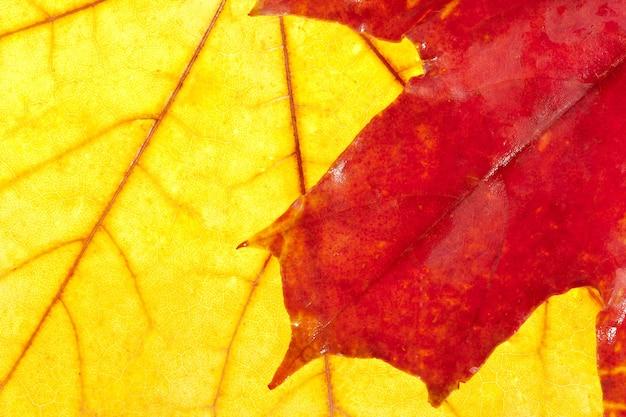 Herfst kleuren. rood esdoornblad op grote gele
