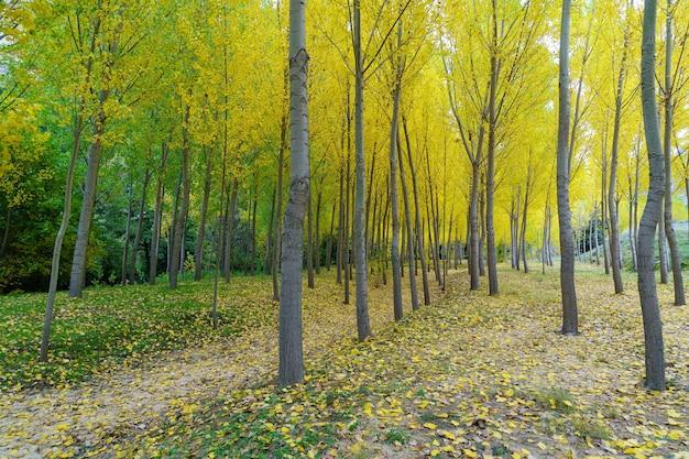 Herfst landschap in het bos met gouden, gele en groene bomen en gevallen bladeren op de grond. segovia, spanje.