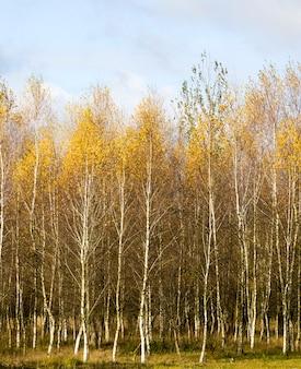 Herfst landschap met helder geel-gouden berken gebladerte tegen een blauwe hemel, natuurlijke aard