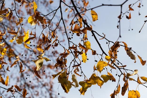 Herfst lindeboom met loof veranderde van kleur in het herfstseizoen, close-up van lindebomen in het herfstseizoen tijdens bladval, natuur