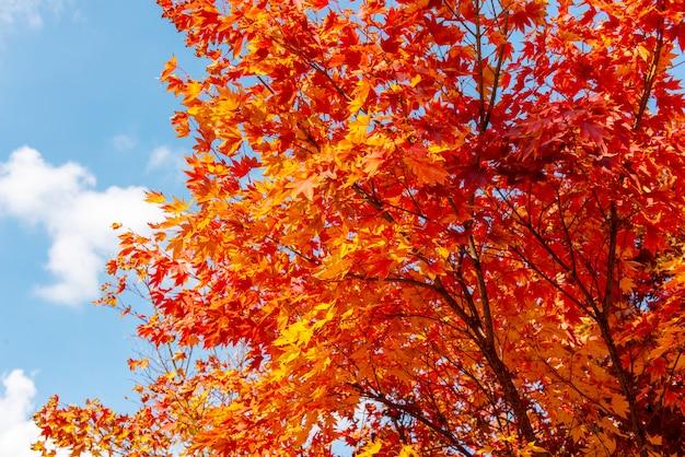 Herfst maple tree achtergrond