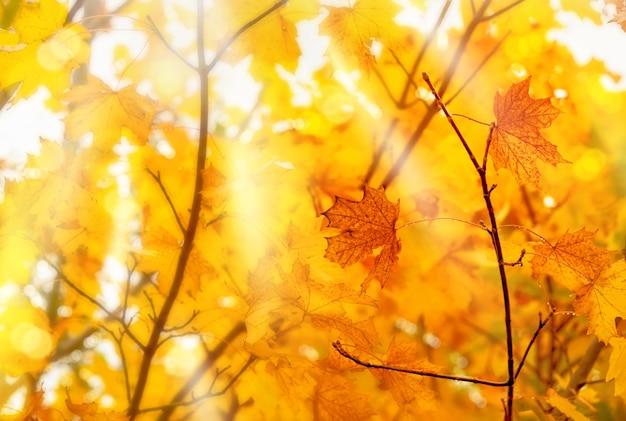 Herfst met esdoorns bladeren met ochtendlicht dat doorschijnt
