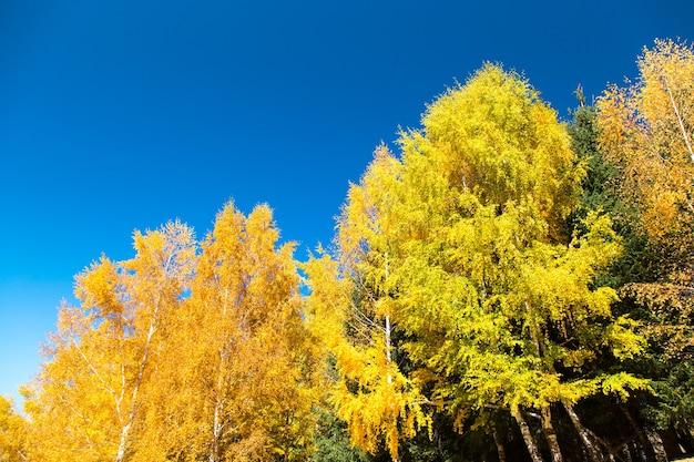Herfst. mooie gele berkenbladeren en takken van lariksbomen op een achtergrond van blauwe heldere hemel. natuurlijke achtergrond.