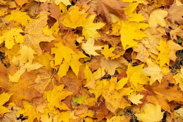 Herfst, mooie, natuurlijke achtergrond van gele esdoornbladeren.