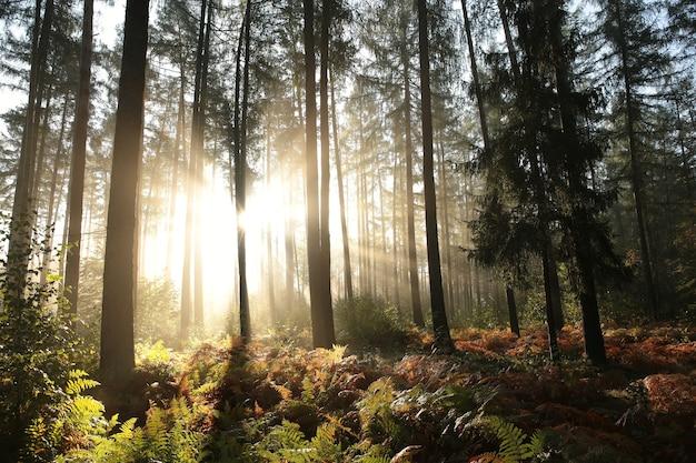 Herfst naaldbos in mistig weer tijdens zonsopgang