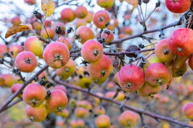 Herfst rijpe appels close-up. selectieve aandacht. herfst landschap.