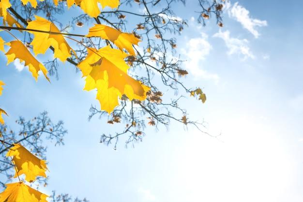 Herfst rode esdoorn bladeren op de blauwe hemelachtergrond