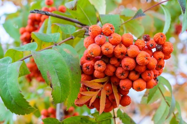 Herfst rowan met rode droge bessen close-up. selectieve aandacht. herfst landschap.